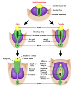 Development of the Genitalia